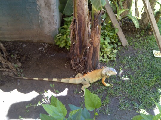 Yes, iguanas are spotted around here. They are SO harmless. They run fast to get away from humans!